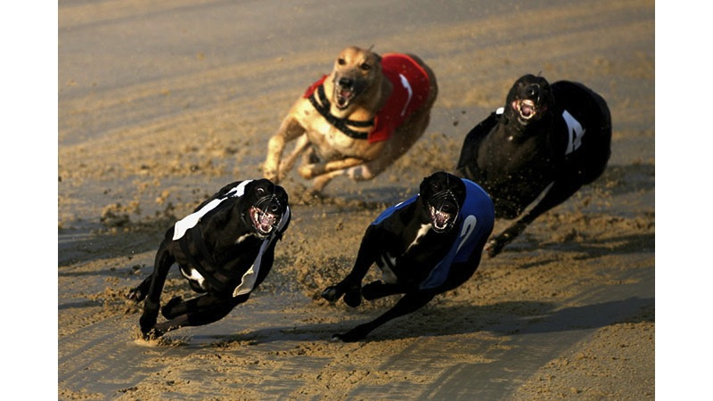 102/136 - Racing Greyhounds - England, 1993.
